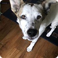 Adopt A Pet :: Henry - Littleton, CO