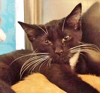 Domestic Shorthair Kitten for adoption in Kalamazoo, Michigan - Elixir - Chelsea