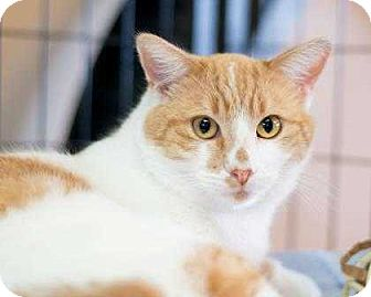 Domestic Mediumhair/Domestic Shorthair Mix Cat for adoption in Fountain Hills, Arizona - Tocho
