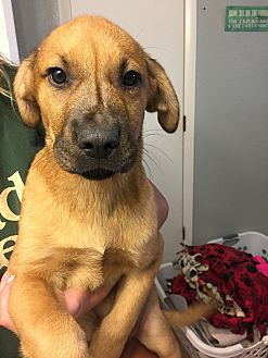 Shepherd (Unknown Type) Mix Puppy for adoption in Fort Collins, Colorado - Morrison