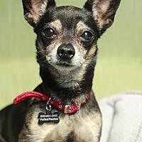 Adopt A Pet :: Jax - Romeoville, IL