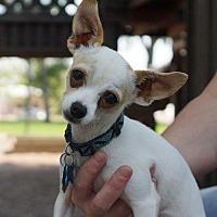 Adopt A Pet :: Chip 2 - courtesy listing - Westminster, CO