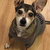 Adopt A Pet :: ZZ-Dingo *courtesy post - Rancho Santa Margarita, CA