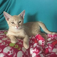 Adopt A Pet :: Kitten - Cream Puff - Napa, CA