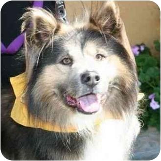 Keeshond Mix Dog for adoption in Berkeley, California - Fargo