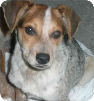 Beagle/Cattle Dog Mix Puppy for adoption in Chicago, Illinois - Marty(ADOPTED!)