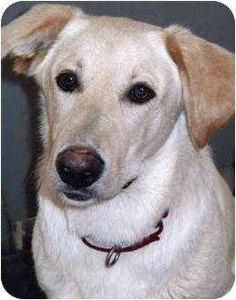 Labrador Retriever/Australian Shepherd Mix Dog for adoption in Grass Valley, California - Jordon*UEGENT*