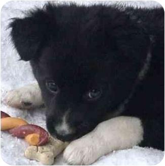 Border Collie Puppy for adoption in Tiffin, Ohio - Mint