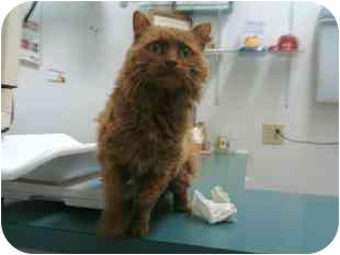 Domestic Mediumhair Cat for adoption in Medford, Massachusetts - Molly