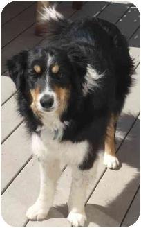 Border Collie/Australian Shepherd Mix Dog for adoption in Denver, Colorado - Dixie