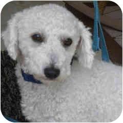 Bichon Frise Mix Dog for adoption in La Costa, California - Tanner