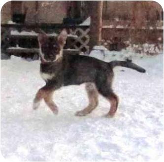 Husky/Shepherd (Unknown Type) Mix Puppy for adoption in Saskatoon, Saskatchewan - Bella