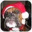 Photo 3 - Boxer Dog for adoption in Gainesville, Florida - Lucy