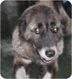 Great Pyrenees/Anatolian Shepherd Mix Dog for adoption in Missouri City, Texas - Lady ZaZa