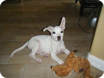 Labrador Retriever Mix Puppy for adoption in Largo, Florida - Flo