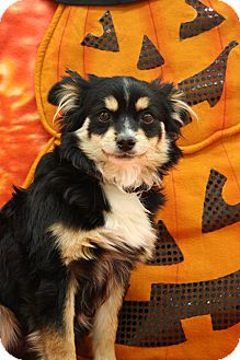 Pomeranian/Papillon Mix Puppy for adoption in Broomfield, Colorado - Dracula