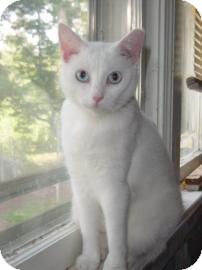 Domestic Shorthair Cat for adoption in Bedford, Virginia - Bonnie