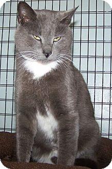 Domestic Shorthair Cat for adoption in Grants Pass, Oregon - Dakota