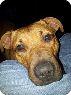 American Pit Bull Terrier/Pit Bull Terrier Mix Dog for adoption in Dayton, Ohio - Monkey