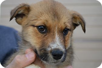 Shepherd (Unknown Type) Mix Puppy for adoption in Westminster, Colorado - Molly