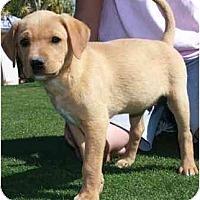 Adopt A Pet :: Poco - Gilbert, AZ