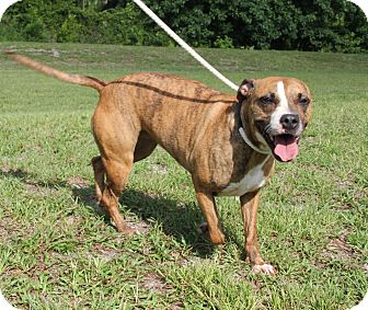 Pit Bull Terrier Mix Dog for adoption in Daytona Beach, Florida - Bella
