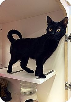 Siamese Kitten for adoption in Germantown, Maryland - Zena