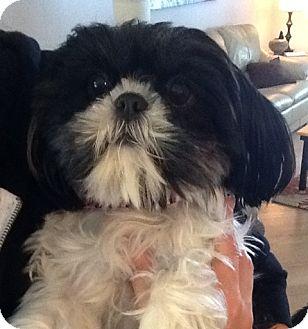 Shih Tzu Mix Dog for adoption in Eden Prairie, Minnesota - ALICE pending