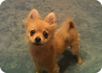 Pomeranian Puppy for adoption in conroe, Texas - Sprout