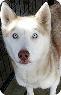 Siberian Husky Dog for adoption in Apple valley, California - Savannah