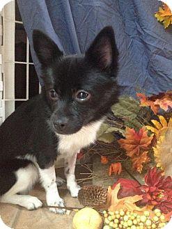 Pomeranian/American Eskimo Dog Mix Dog for adoption in Beachwood, Ohio - S'More