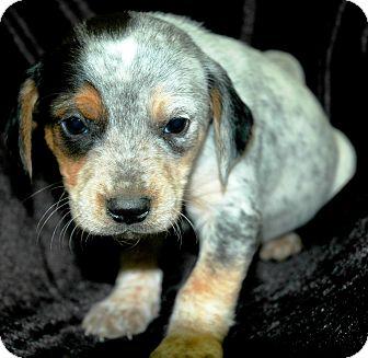 Labrador Retriever/Blue Heeler Mix Puppy for adoption in Woodlyn, Pennsylvania - Frankie