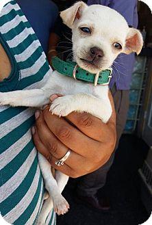 Chihuahua Puppy for adoption in Irvine, California - MILO