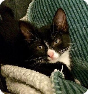 Domestic Shorthair Kitten for adoption in Gainesville, Florida - Kitana