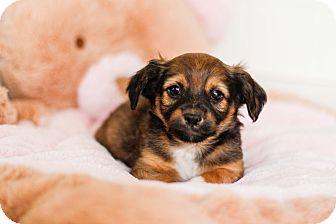 Dachshund/Cairn Terrier Mix Puppy for adoption in Auburn, California - Harvey