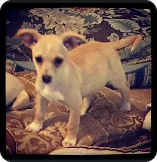 Chihuahua Mix Puppy for adoption in Grand Bay, Alabama - Mina