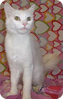Domestic Shorthair Cat for adoption in Rapid City, South Dakota - Duchess
