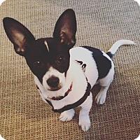 Adopt A Pet :: Griffon - Chicago, IL