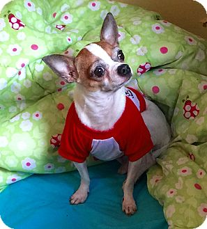 Chihuahua Dog for adoption in Wallingford Area, Connecticut - Baby