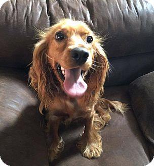 Cocker Spaniel Mix Dog for adoption in South San Francisco, California - Tawny