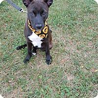 Adopt A Pet :: Darcie - Georgetown, KY