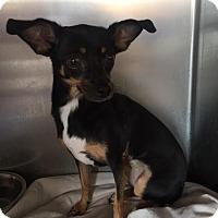 Adopt A Pet :: Willa - Westminster, CA
