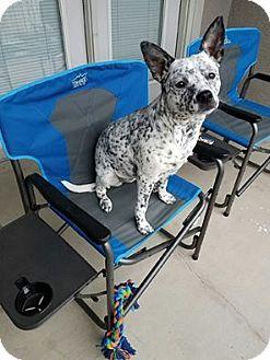 Blue Heeler/Australian Cattle Dog Mix Dog for adoption in Plano, Texas - Molly