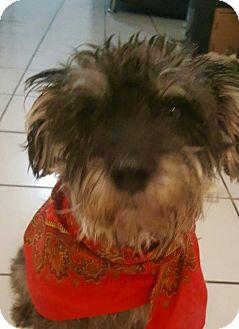 Schnauzer (Standard) Mix Dog for adoption in Irvine, California - EDDIE