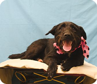 Schnauzer (Standard)/Terrier (Unknown Type, Small) Mix Dog for adoption in Poteau, Oklahoma - WILLOW