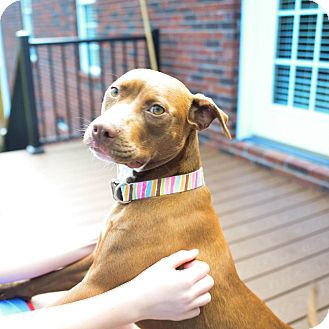 Hound (Unknown Type)/Pit Bull Terrier Mix Puppy for adoption in Pottstown, Pennsylvania - Brownie