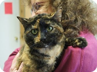 Domestic Shorthair Cat for adoption in Libby, Montana - Yagachi