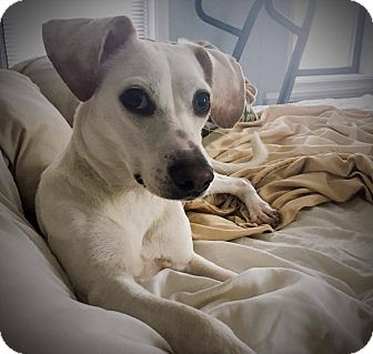Beagle/Jack Russell Terrier Mix Dog for adoption in LONG ISLAND CITY, New York - Charlie