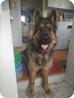 German Shepherd Dog Dog for adoption in Littleton, Colorado - DAKOTA