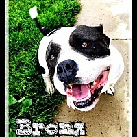American Staffordshire Terrier Dog for adoption in Hartford City, Indiana - Bronx